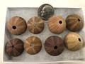 Brown sea urchin set of 8