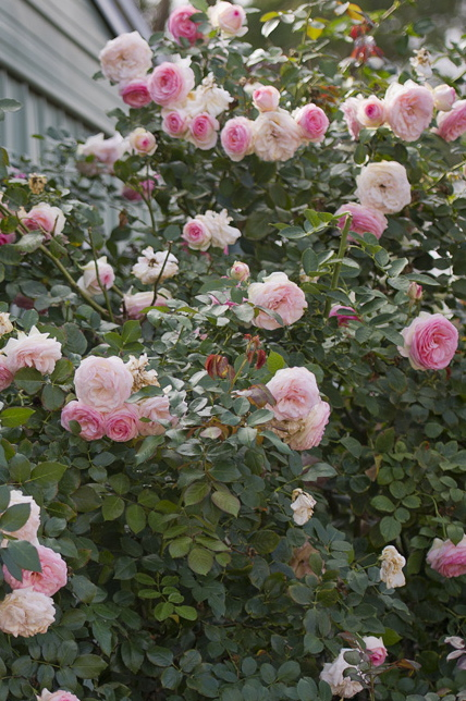 044-climbing-rose.jpg