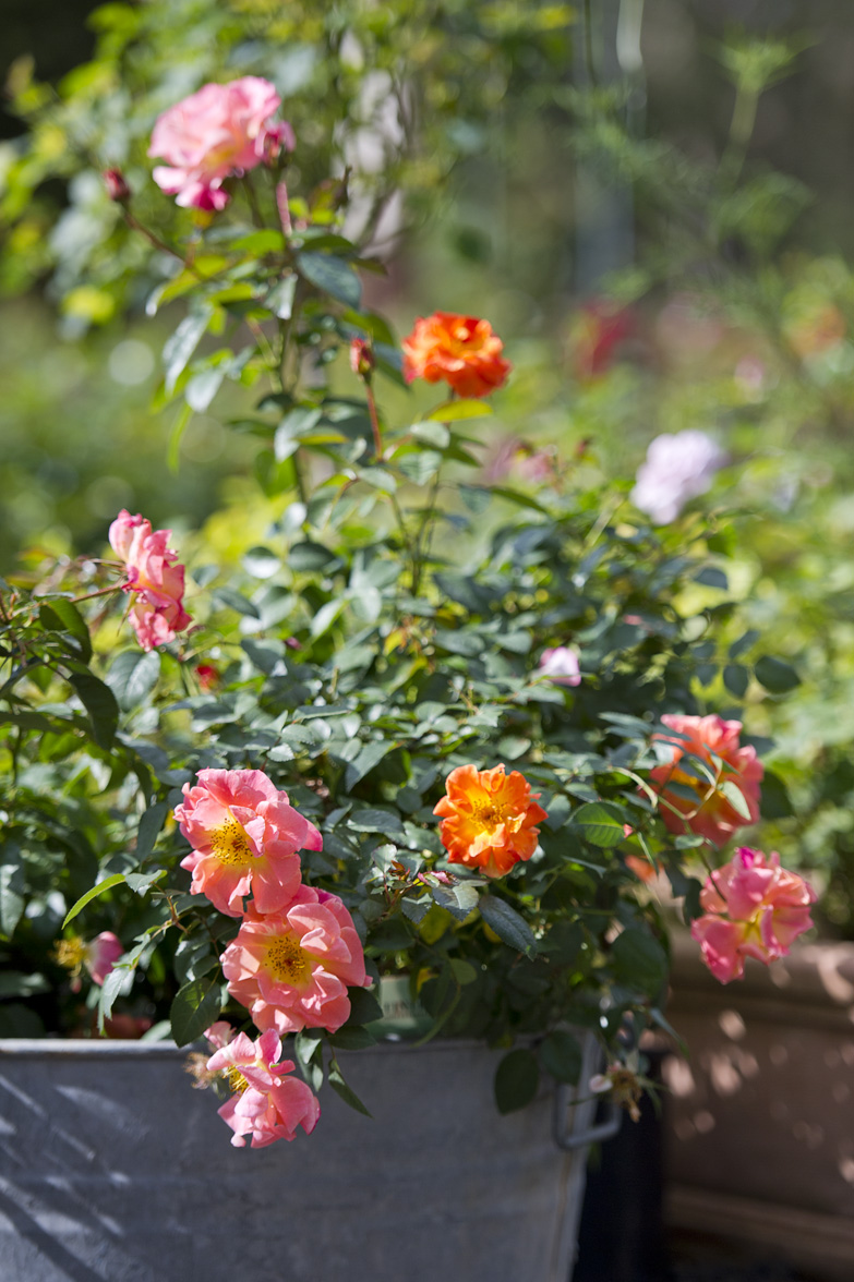 286-ground-cover-roses.jpg