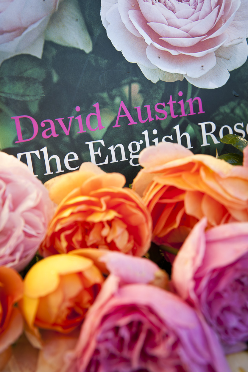 339-david-austin-roses.jpg