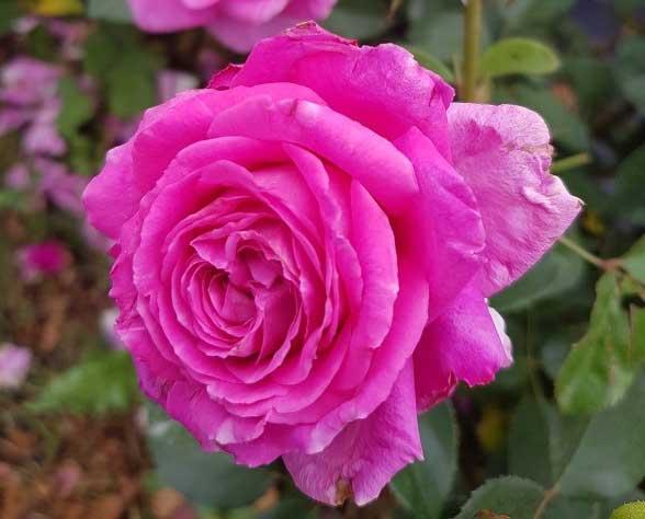 Dream Chaser Rose