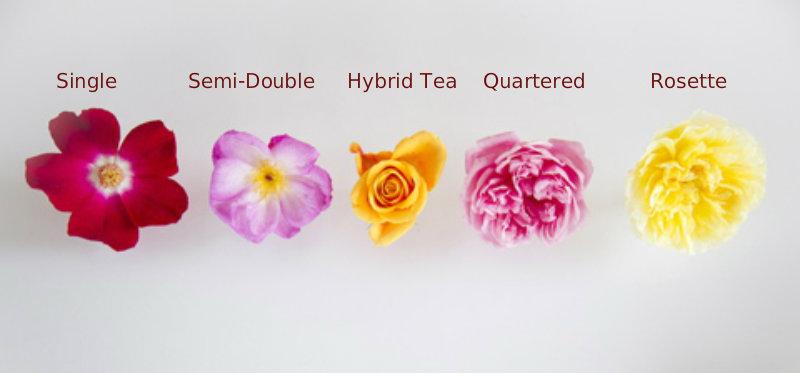 rose-flower-types.jpg