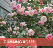 roses-categories-climbers-off.jpg