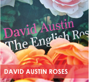 roses-categories-david-austin-off.jpg
