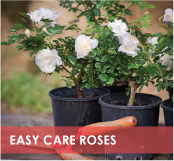 roses-categories-easy-care-off.jpg