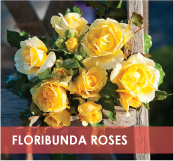 roses-categories-floribunda-off.jpg
