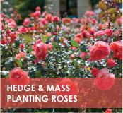 roses-categories-hedge-mass-off.jpg