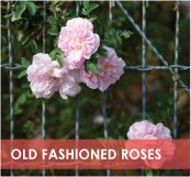 roses-categories-old-fashioned-off.jpg