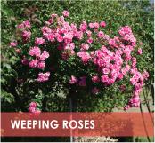 roses-categories-weeping-off.jpg