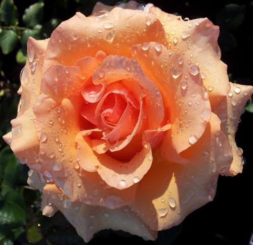 Nectar Rose