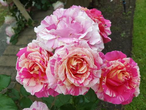 claude monet delbard rose rose sales online. Black Bedroom Furniture Sets. Home Design Ideas