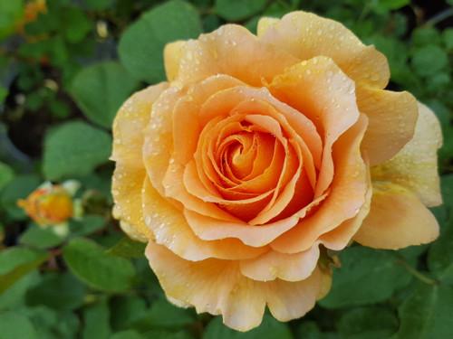 Image result for Honey Perfume. roses
