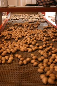 Pecans on Conveyor Belt