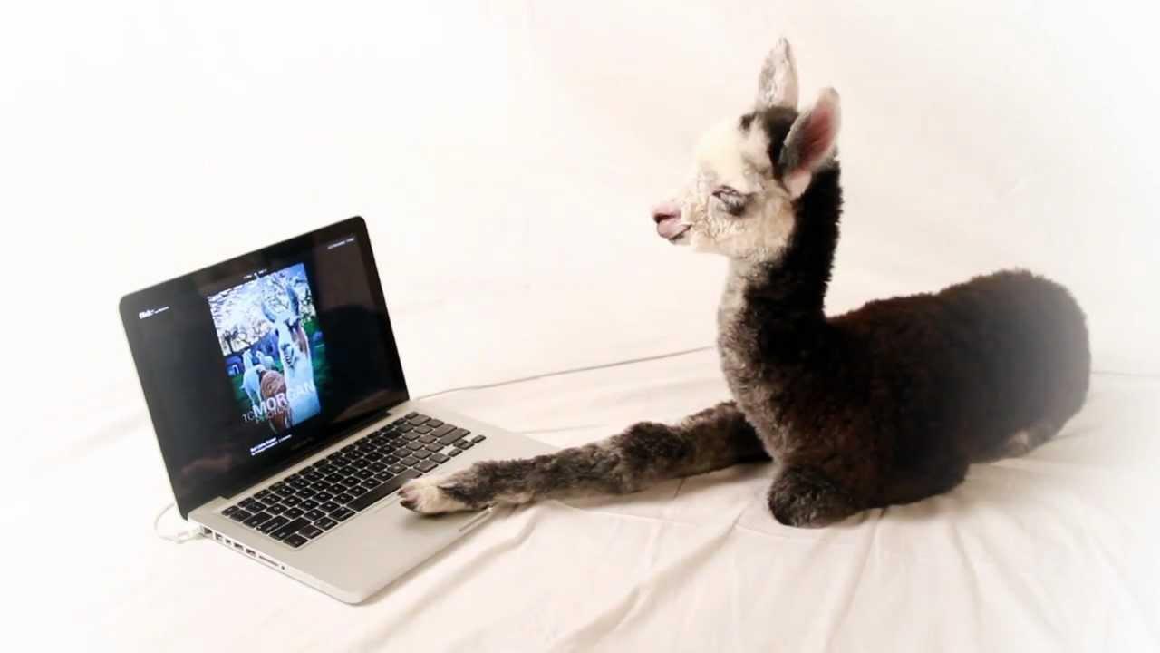 baby-llama-uses-a-computer.jpg