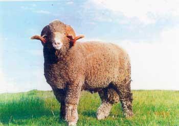 rambouillet-sheep.jpg