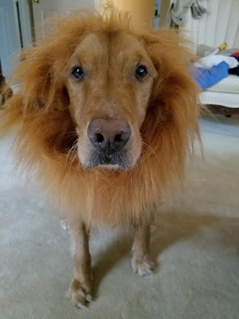 halloween-dog-costum-skipper-golden.jpg