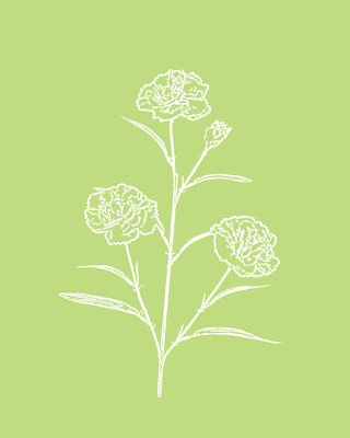 Carnation / Margarita