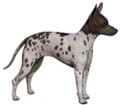 American Hairless Rat Terrier