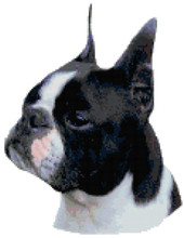 Black Boston Terrier Portrait