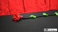Fresh Flower by Mr. Magic - Trick