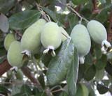 Guava Pineapple - 15 Gal