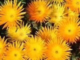 Iceplant Yellow Bush - Flat