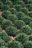 Ophiopogon japonicus 'Mondo Grass' - 1 Gal