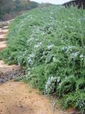 Rosmarinus officinalis 'Prostratus' Rosemary - 1 Gal