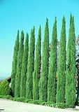 Italian Cypress - 15 Gallon