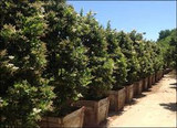 "Ligustrum Japonicum ' Texanum ' Japanese Privet, Wax Leaf Privet  - 24"" Box Column"