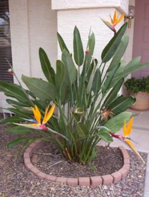 Strelitzia reginae Bird of Paradise 5 gallon in los angeles, san ...