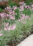 Tulbaghia violacea 'Silver Lace' variegated society garlic - 5 Gallon