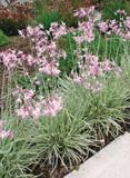 Tulbaghia violacea 'Silver Lace' variegated society garlic - 5 Gallon