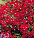 Rosa 'red groundcover rose' - 5 Gallon