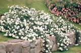 Rosa ' white groundcover rose' - 5 Gallon
