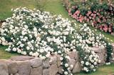 Rosa ' white groundcover rose' - 5 Gallon