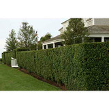 Ligustrum Japonicum 'Texanum' Japanese Privet, Wax Leaf Privet  - 15 Gallon Staked