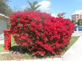 Bougainvillea 'La Jolla' Bougainvillea Red - 5 Gallon ( Bush Type )