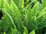 Nephrolepis exaltata Sword Fern - 5 Gallon