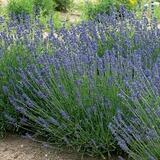 Lavandula angustifolia (L. officinalis) English Lavender - 5 Gallon