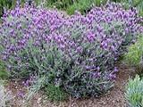 Lavandula stoechas 'Otto Quast' ('Quasti') Spanish Lavender  - 5 Gallon