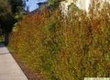 Dodonaea viscosa 'Purpurea' Purple Hopseed Bush - 15 Gallon