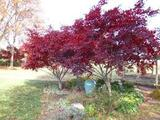"Acer palmatum 'Bloodgood' Japanese Maple 'Bloodgood' - 24"" Box"