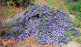 Ceanothus 'Joyce Coulter' California Lilac 'Joyce Coulter'  - 5 Gallon
