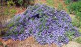 Ceanothus 'Joyce Coulter' California Lilac 'Joyce Coulter'  - 5 Gallon