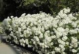 Rosa 'Iceberg' Rose Floribunda-White - 15 Gallon ( Bush Type )