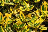 Euonymus japonicus 'Aureo-Marginata' Golden Euonymus  - 5 Gallon