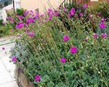 Calandrinia grandiflora - 5 Gallon