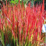 Imperata cylindrica 'Rubra' ('Red Baron') Blood Grass - 5 Gallon