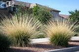 Muhlenbergia rigens Deer Grass - 5 Gallon